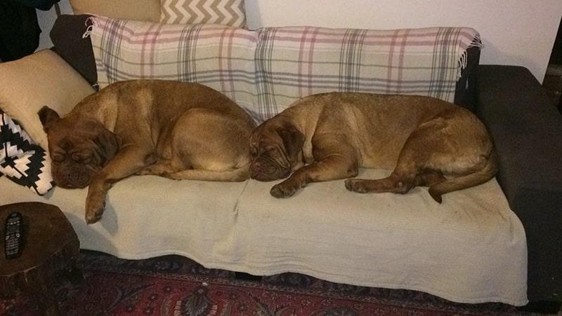 פנסיון לכלבים בלינה ביתית