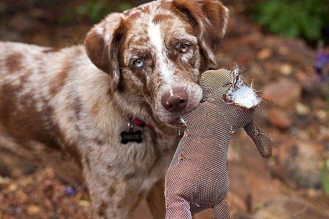 חרדת התעללות בכלבים
